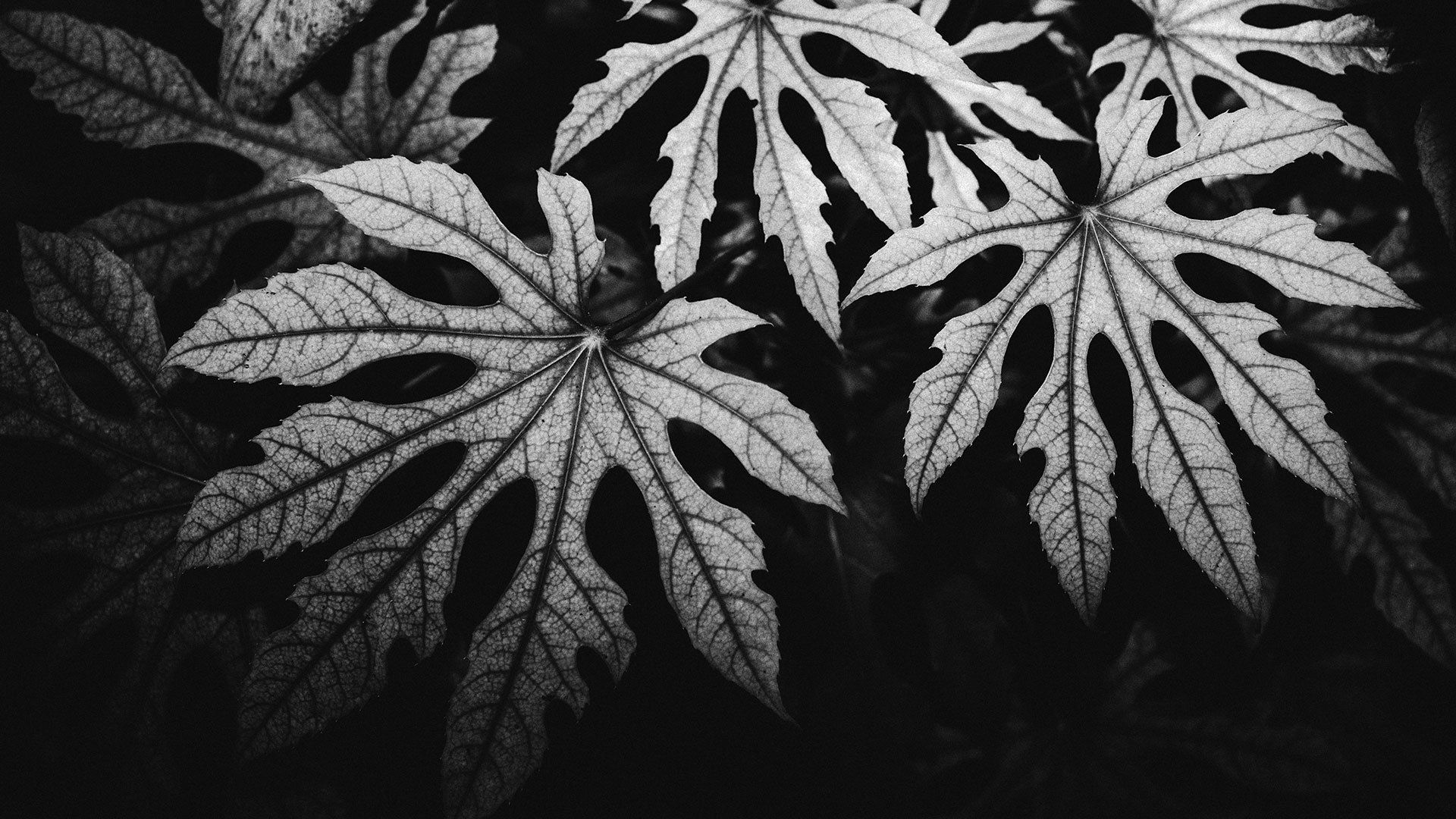 Black and white image of leaves